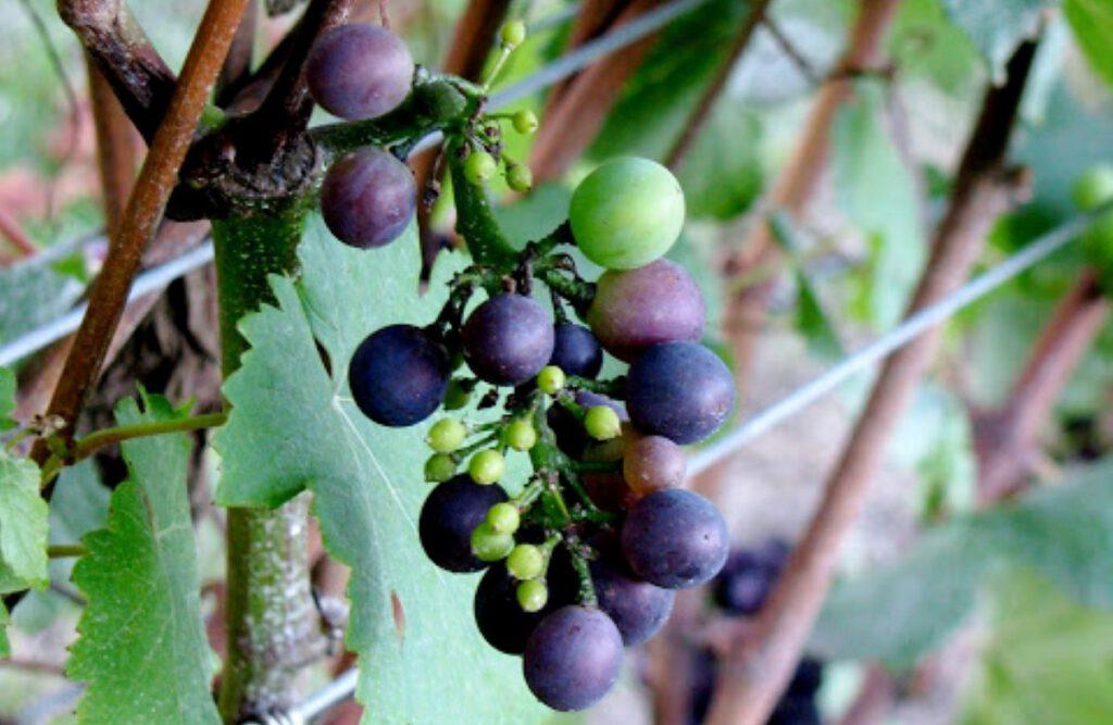 grape cluster on vine in veraison