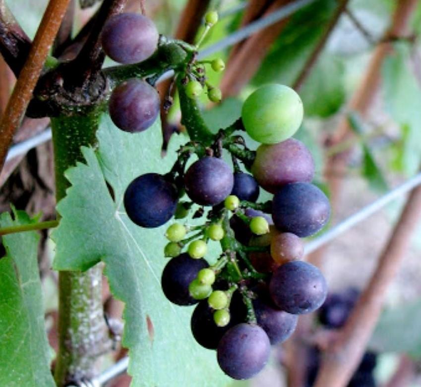 pinot noir grapes on vine in veraison